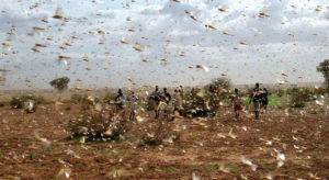 More funding needed to combat locust swarms 'unprecedented in modern times'