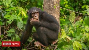 Coronavirus: Fears for future of endangered chimps in Nigeria