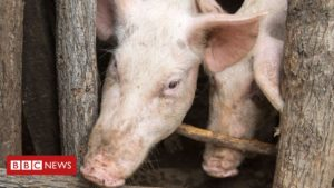 African swine fever 'decimating' Nigerian pigs
